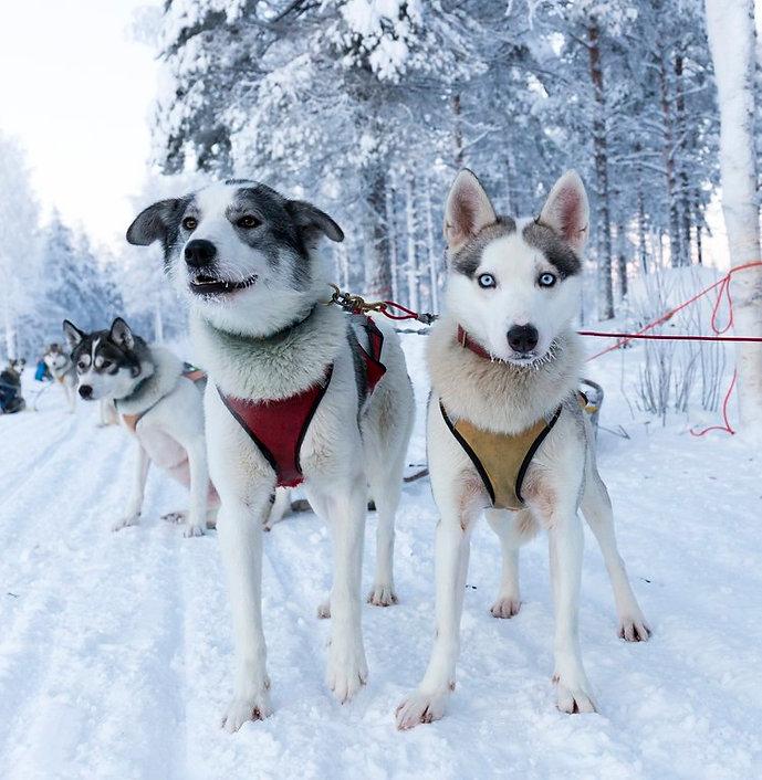 Alaskanhusky ja siperianhusky valmiina koirasafarille. Taustalla luminen Lappi
