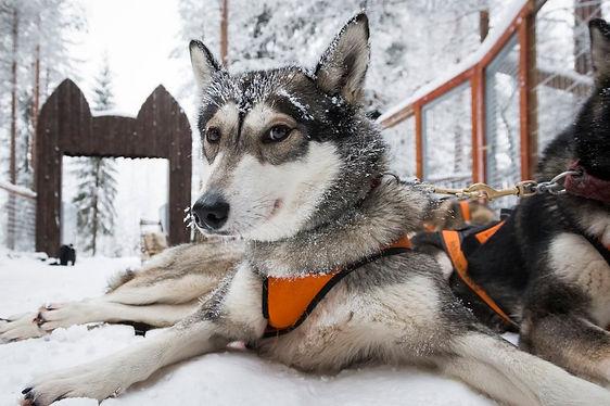 Husky makoilee Wild Arctic Husky Park -tarhassa.  Huskylla on valjaat paalla, ja lunta turkissa.