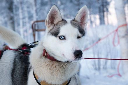 Husky iskee silmaa ja vain toinen sininen silma nakyy