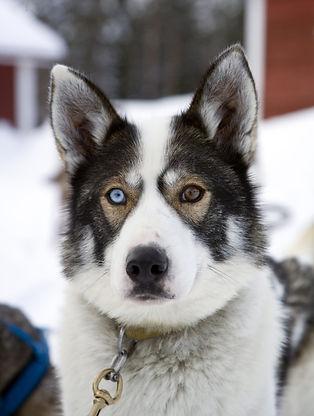 Arctic Borealis Huskies kennelissä on n. 90 rekikoiraa, ja niiden hyvinvointi on tärkeää yrittäjille. Kuvassa komea husky, jolla toinen silmä on sininen, ja toinen ruskea.