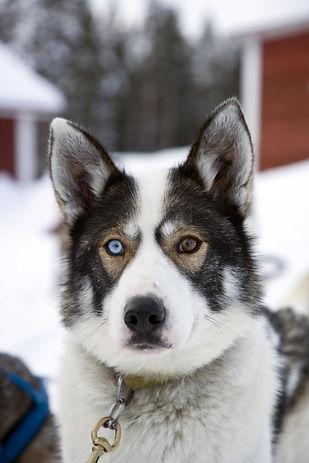 Komea rekikoira huskyfarmilla, kauniit silmät jotka erivariset.