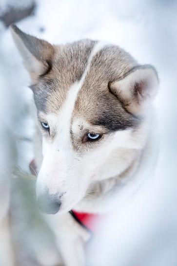 Husky katsoo keskittyneesti eteen sinisilla silmillaan.