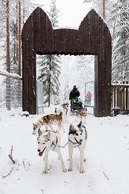 Koiravaljakkoajelu Lapissa sopii koko perheelle. Koiravaljakot ovat juuri saapuneet Wild Arctic Husky Park porteista.