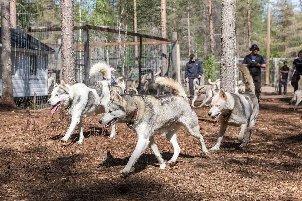 Arctic Borealis Huskyfarmi vierailulla paasee katsomaan vieresta kun 40 huskya juoksee irti juoksutarhassa.