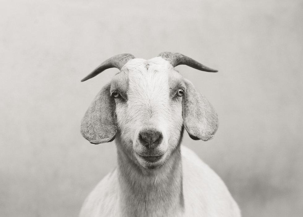 The_Goat_edited_edited.jpg