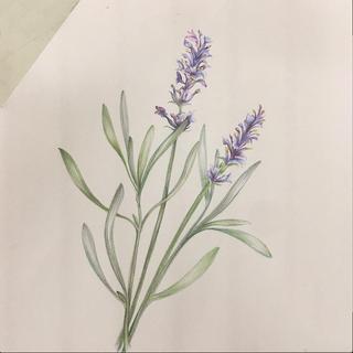 botanical drawing.png