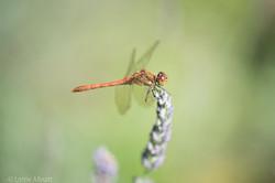 Dragonfly Lottie Allnatt Photography