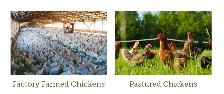 pastured chickens vs. factory farmed chickens