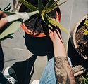 Watering Aloe Vera Plant