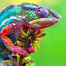 Colorful_Chameleon.jpg