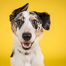 happy dog yellow background