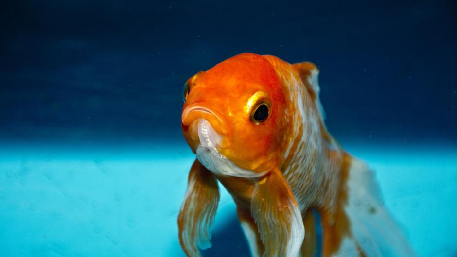 Kan du holde koncentrationen længere end en guldfisk?