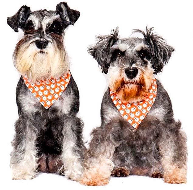 2 Schnauzers wearing Schnauzerfest bandanas