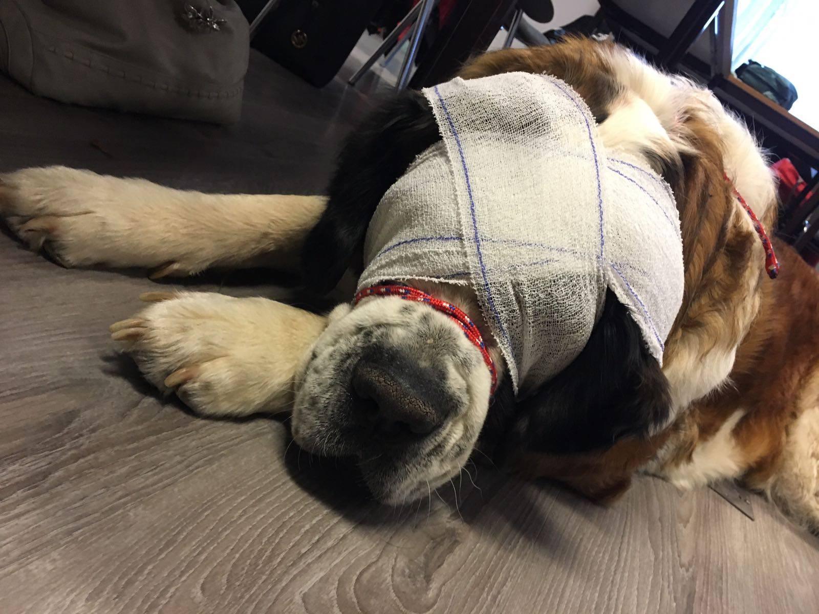 chien_bandage