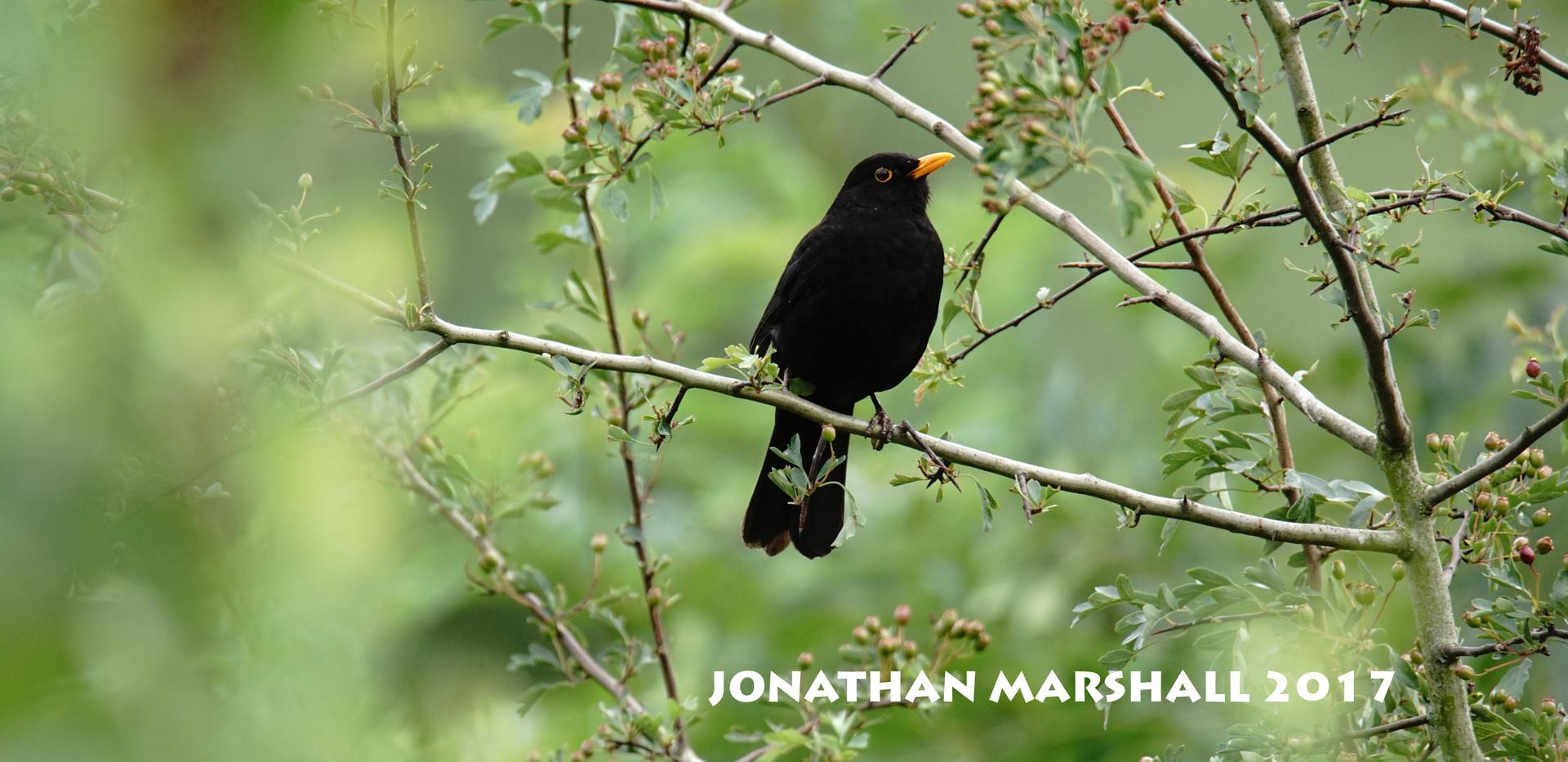 BLACKBIRD004.jpg