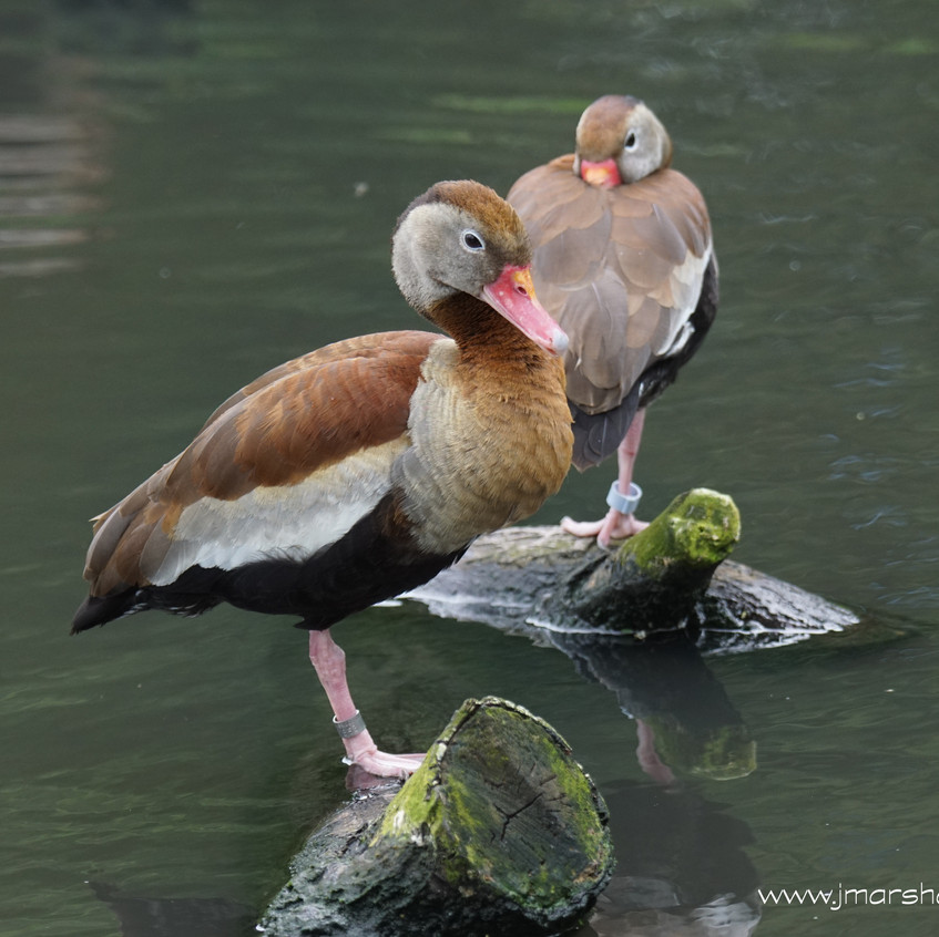 BLACK BELLIED WHISTLING DUCK 1