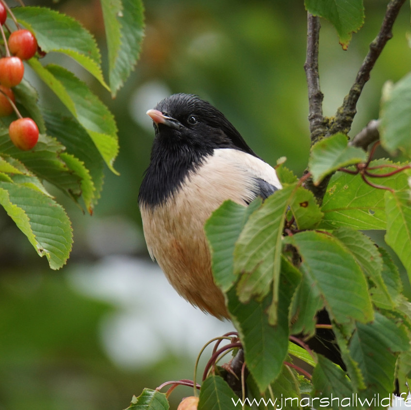 ROSY STARLING 4