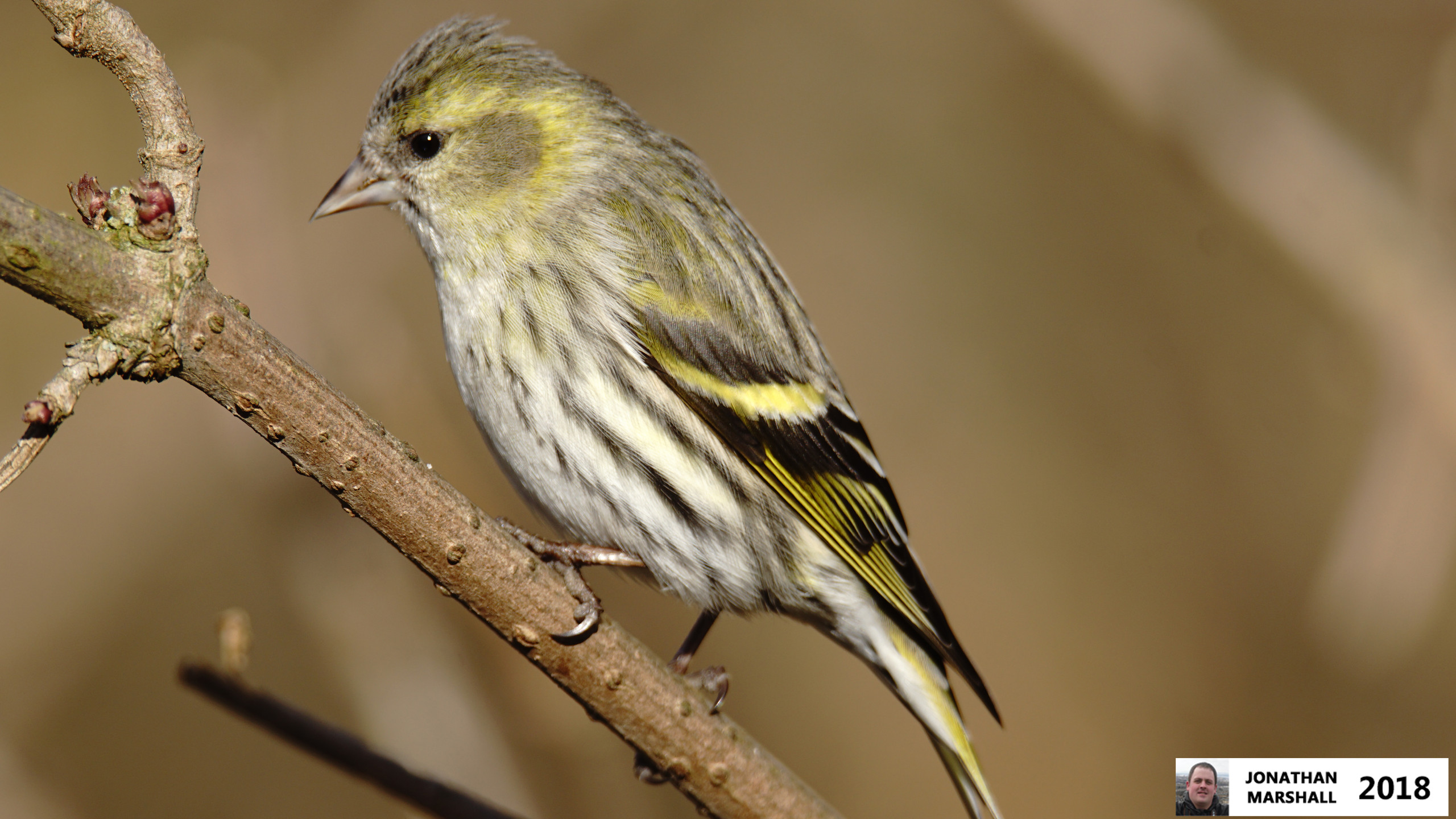 Siskin (Female)