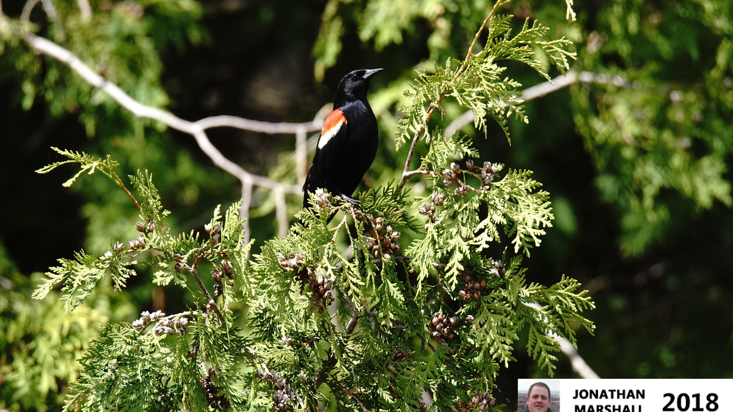 Red Winged Blackbird (Male)