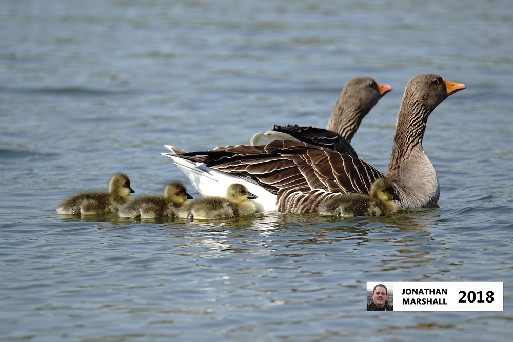 Greylag Geese with chicks