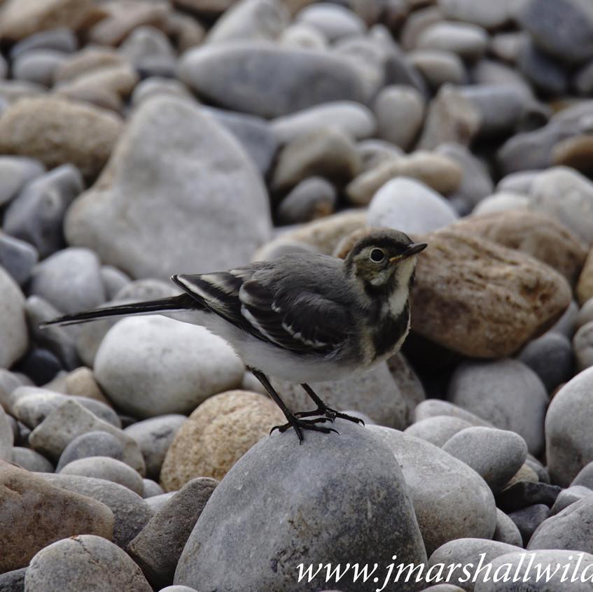 Grey Wagtail (Juvenile)