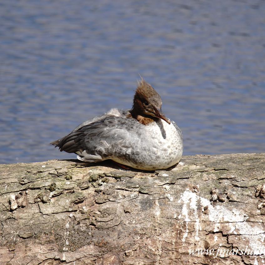 Goosander (Female)