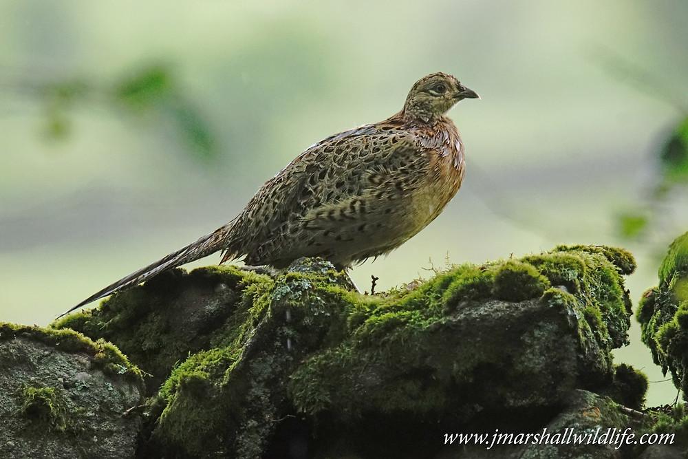 Pheasant (Female)
