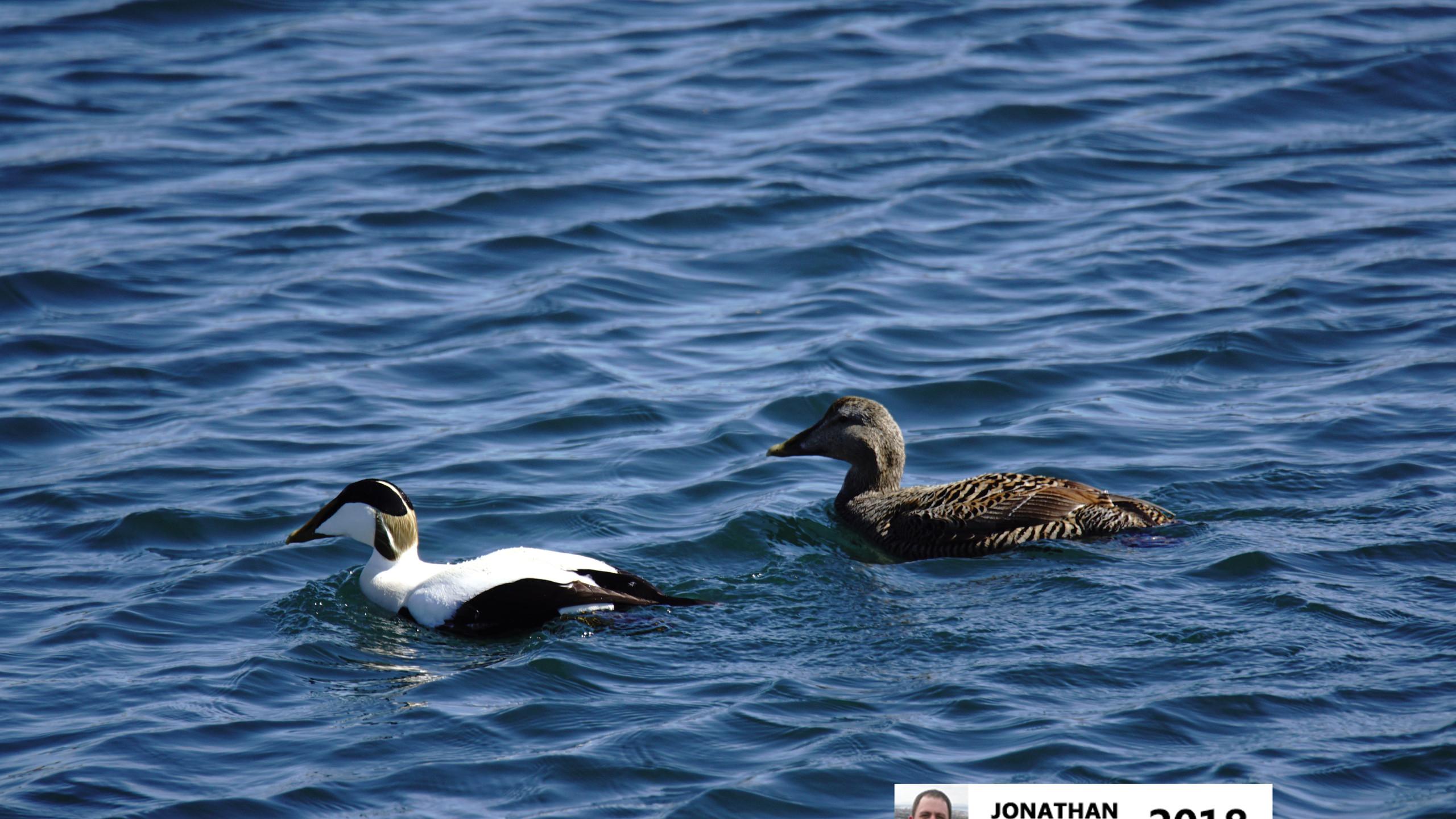 Eider Duck (Male & Female)