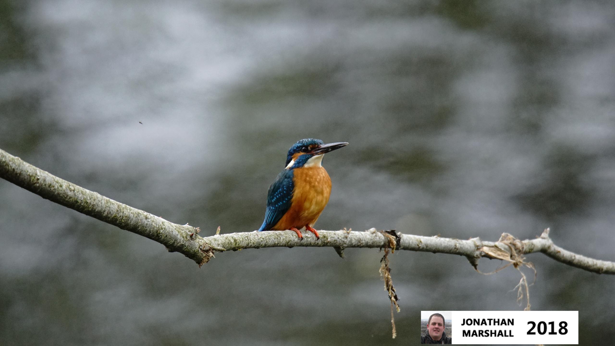 Kingfisher (Male)