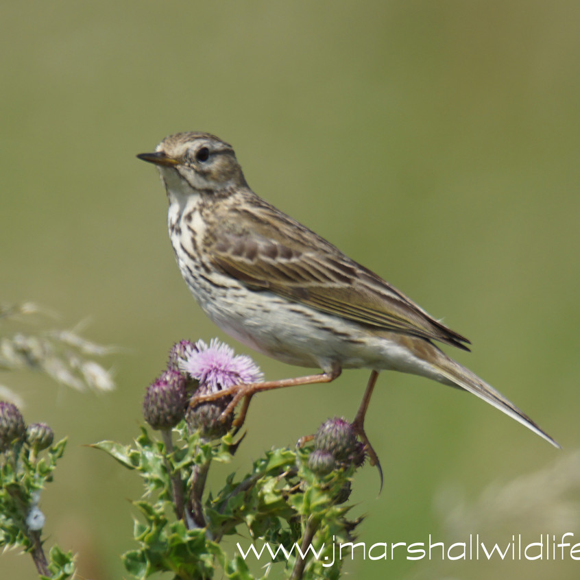 MEADOW PIPIT 1