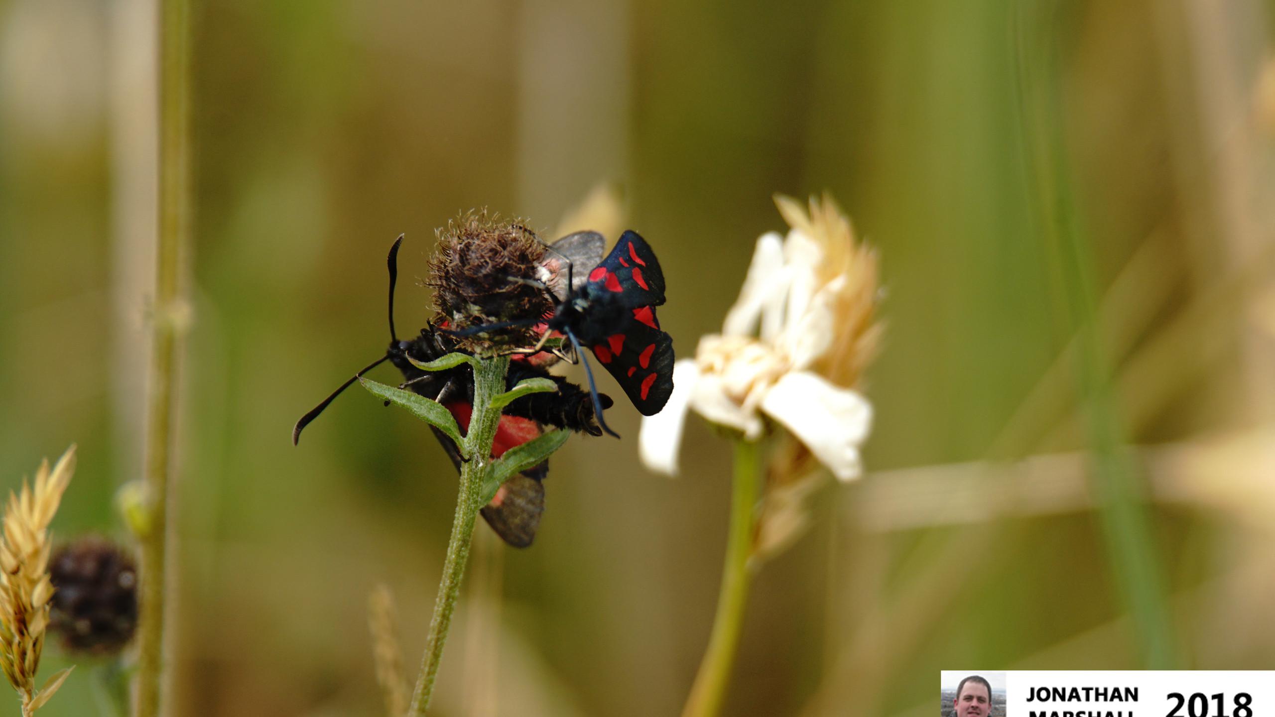 Six Spot Burnet Moths