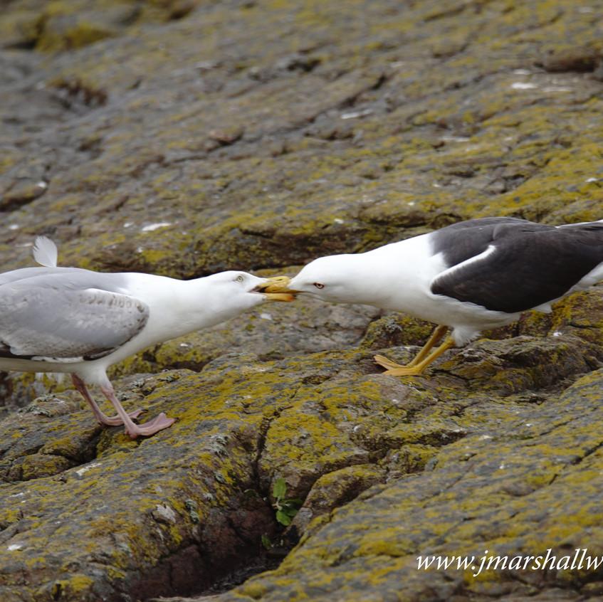 Herring & Lesser Black Backed Gulls