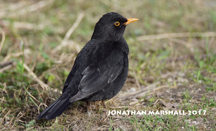 BLACKBIRD001.jpg