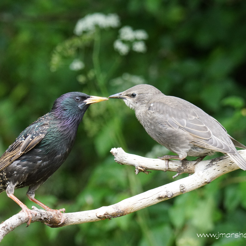 STARLING - ADULT FEEDING JUVENILE 1