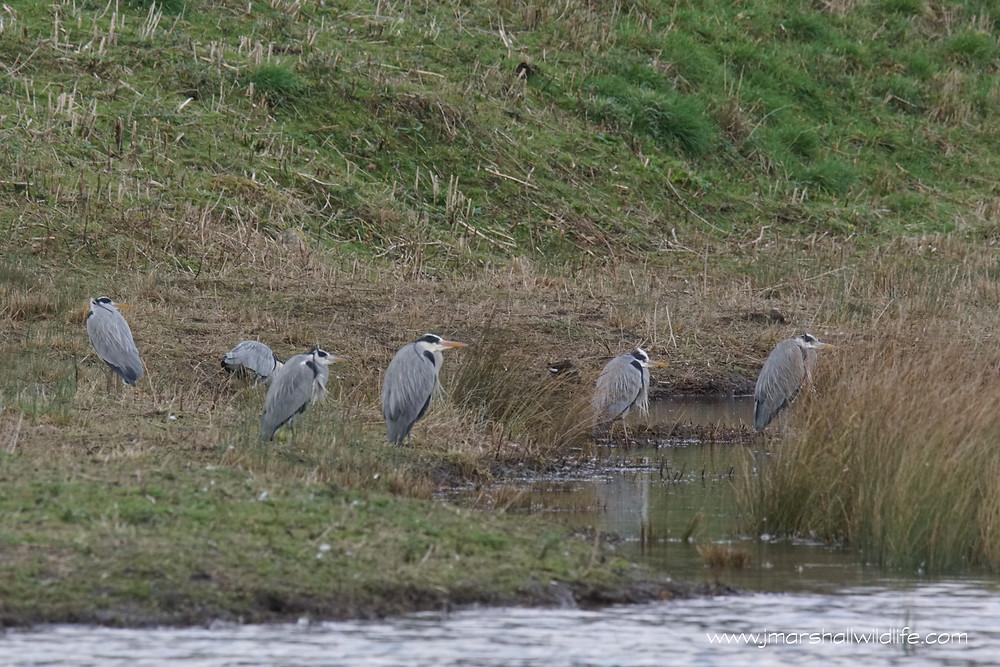 Six of the twenty five Grey Herons