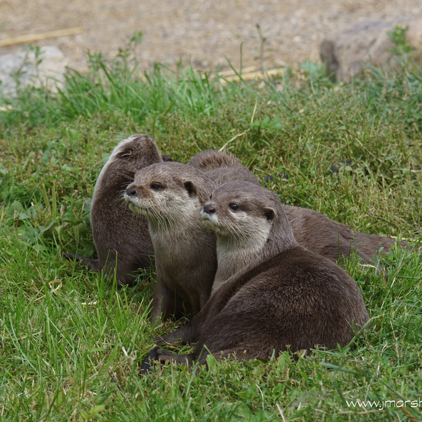 ASIAN SHORT CLAWED OTTER 2