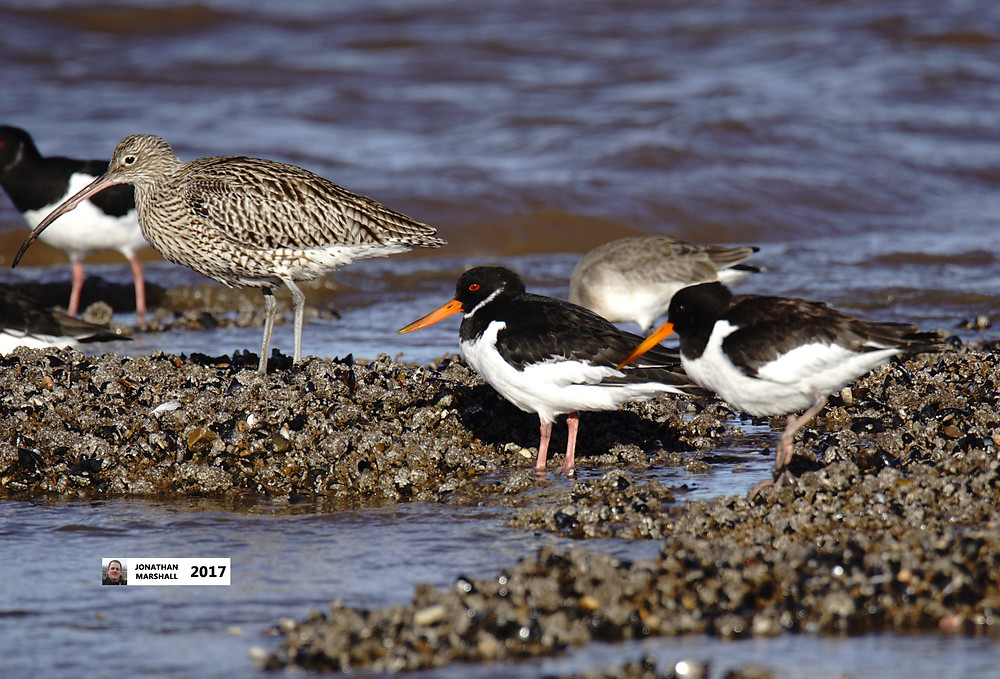 CURLEW & OYSTERCATCHERS