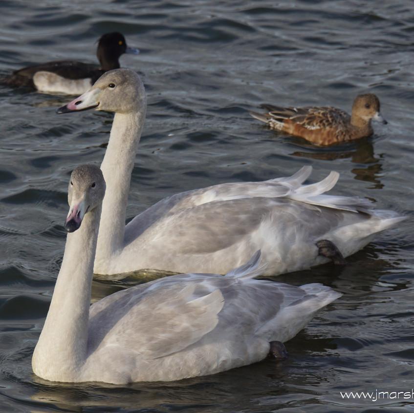 Whooper Swan (Juveniles)
