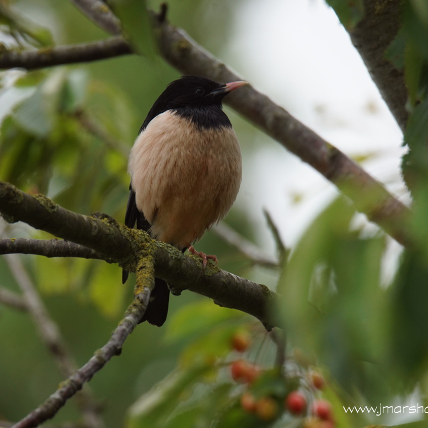 ROSY STARLING 2
