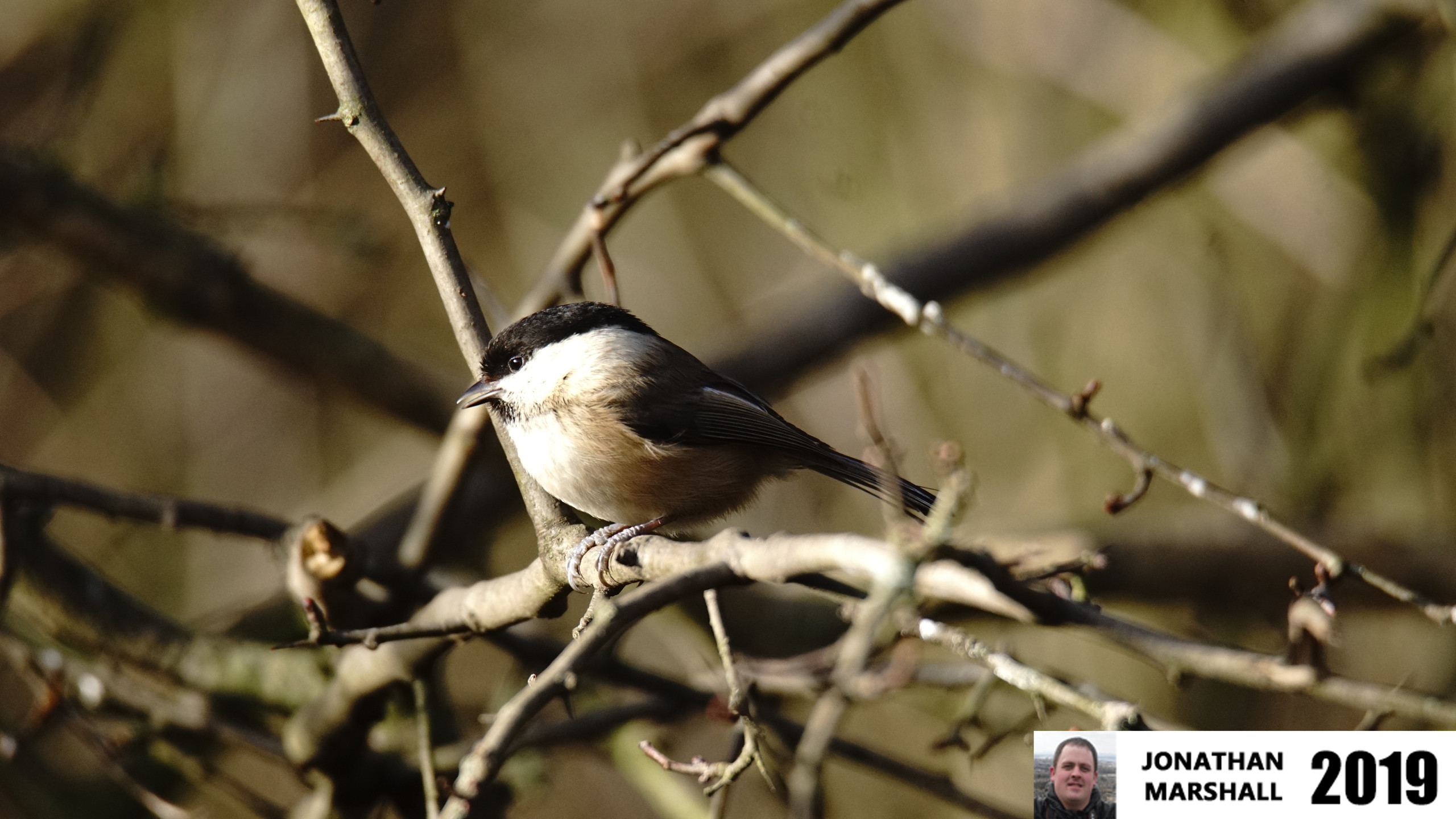 WILLOW TIT