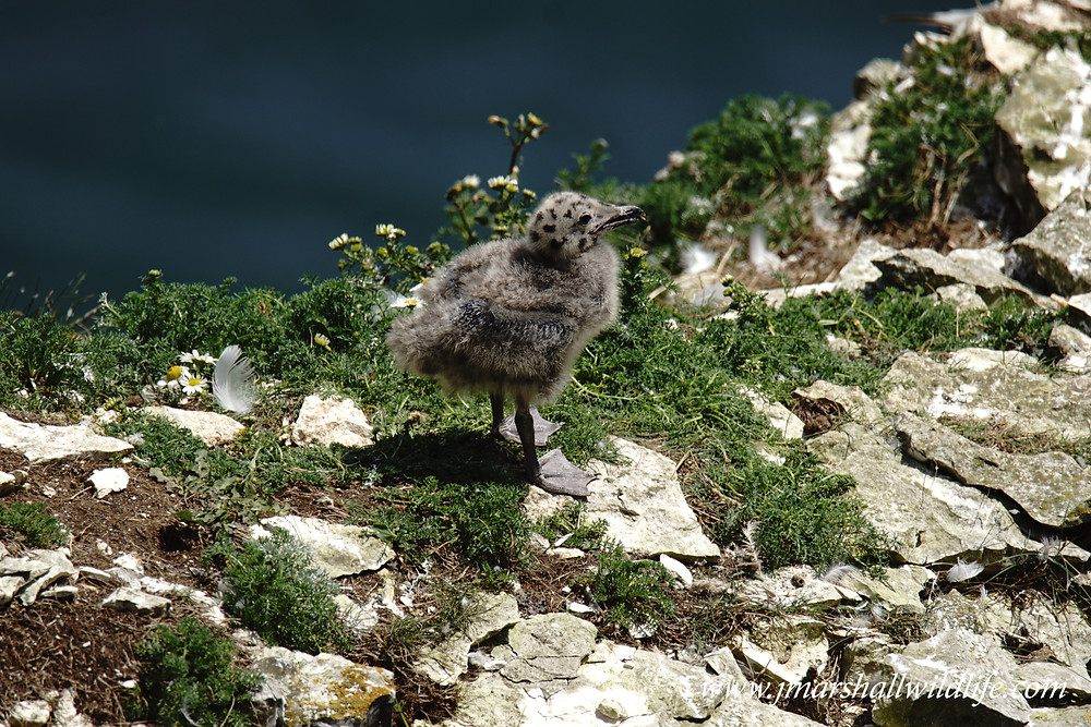 Herring Gull (Chick)