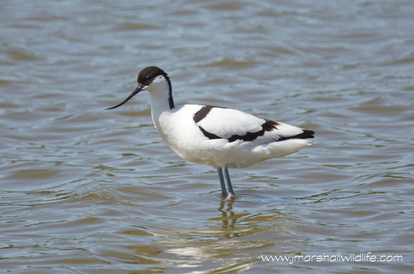 A COLONY OF AVOCETS @ RSPB LEIGHTON MOSS