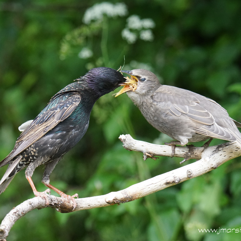 STARLING - ADULT FEEDING JUVENILE 2