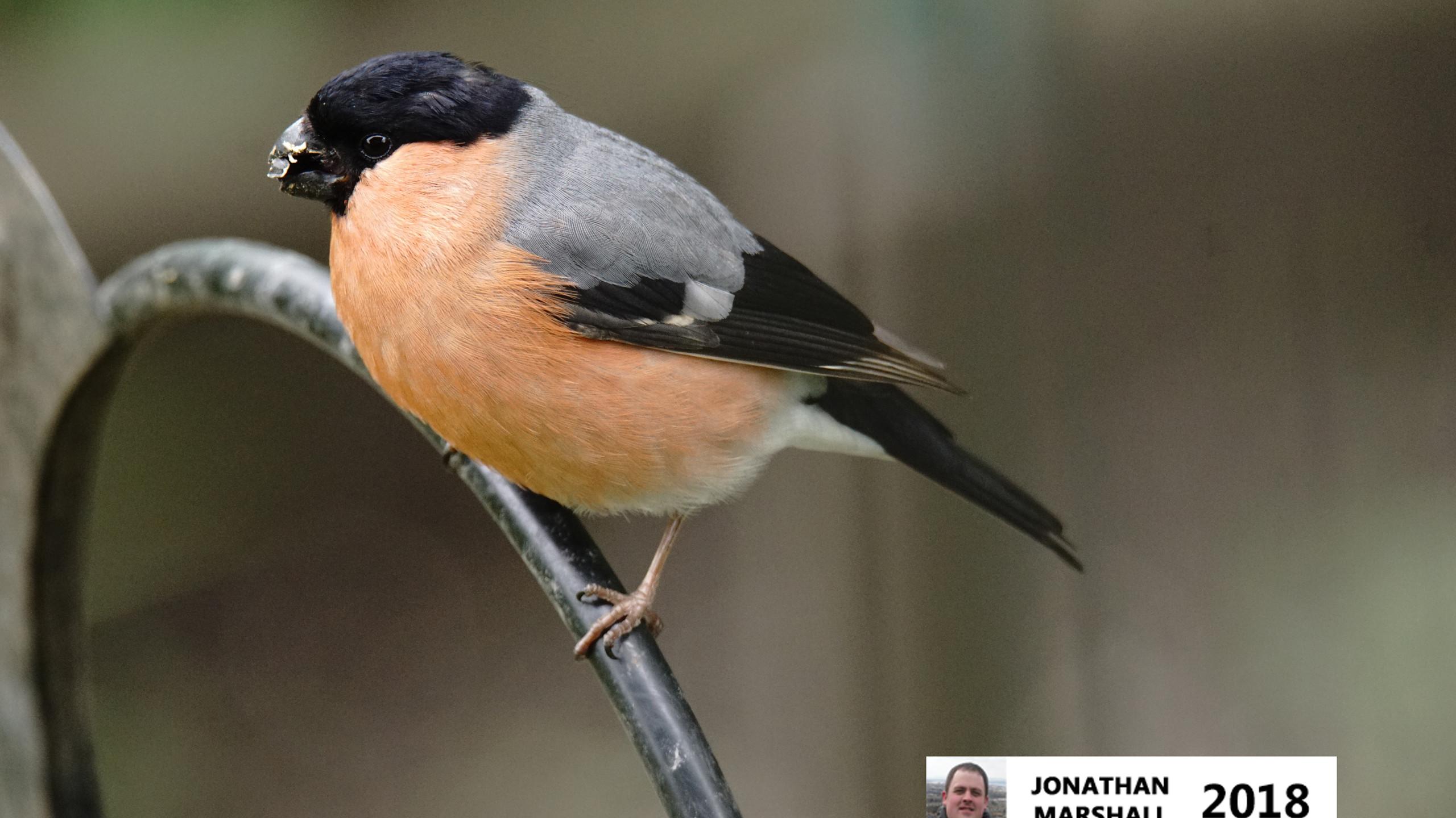 Bullfinch (Male)