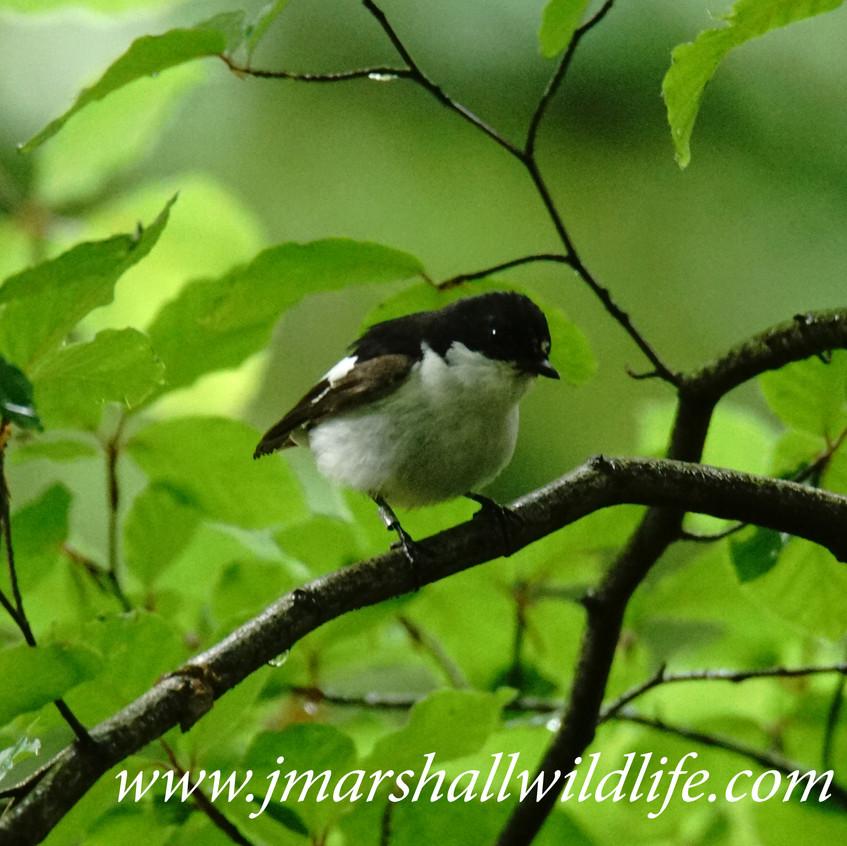 Pied Flycatcher (Male)