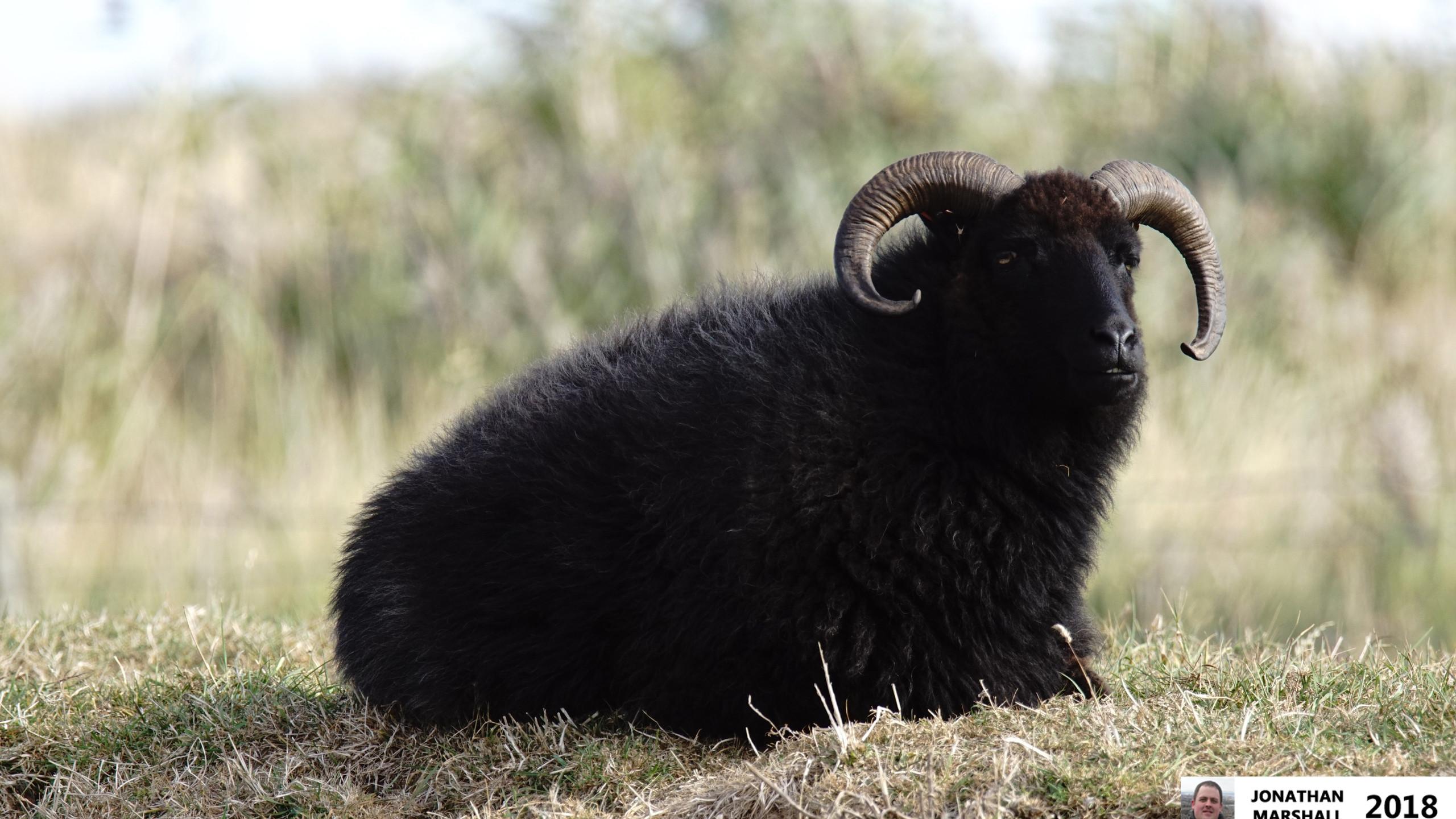 Hebridean Sheep