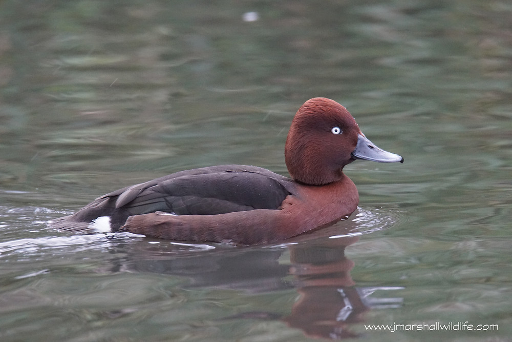 Ferrugnious Duck
