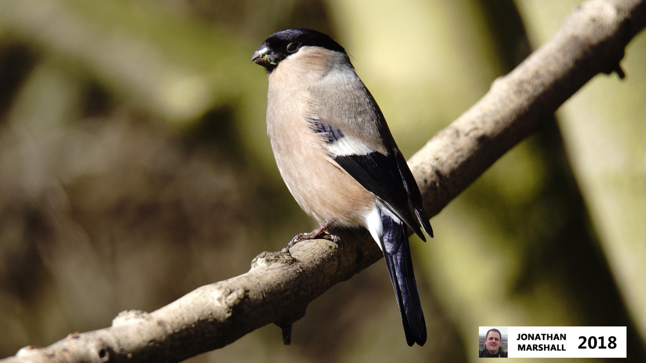 Bullfinch (Female)