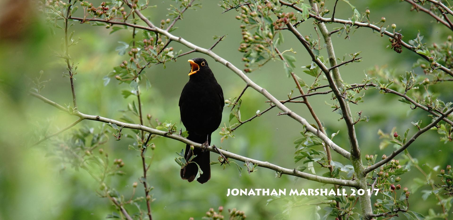 BLACKBIRD003.jpg