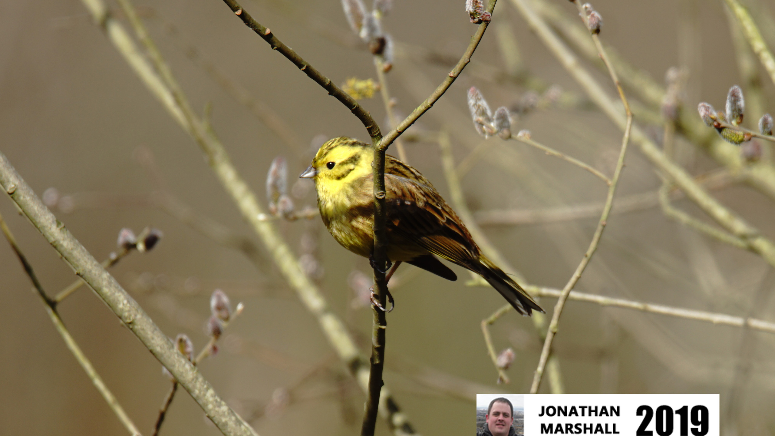 Yellowhammer (Male)SC02996A